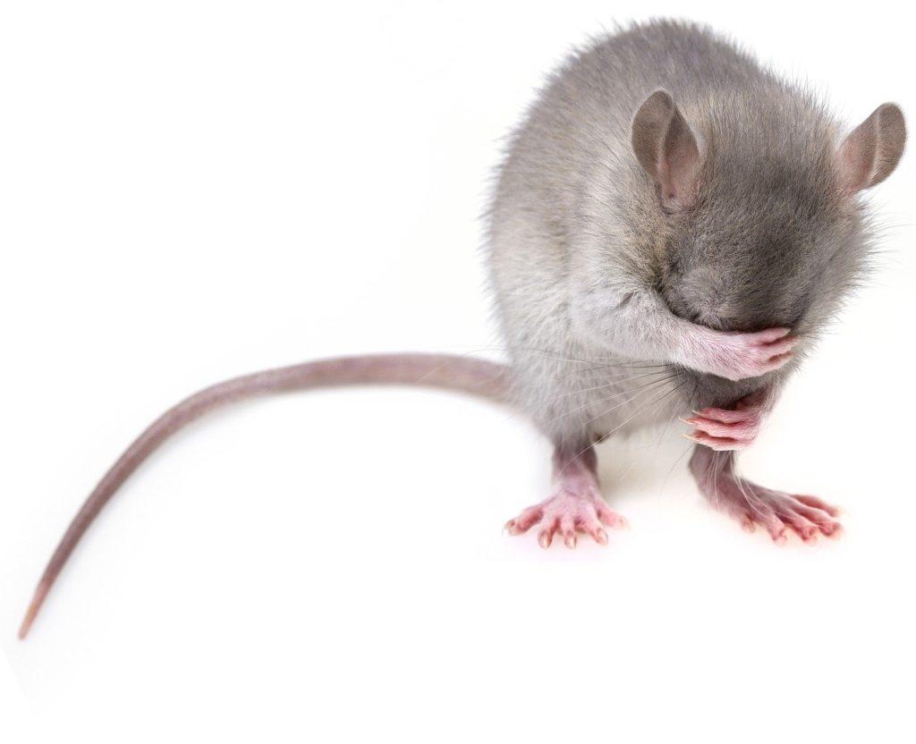עכבר מכסה את העיניים